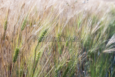 nearly mature barley in a field
