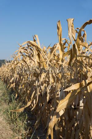 agricolo agricoltura campo grano fuori mais