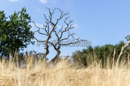 landscape with dead tree and barley