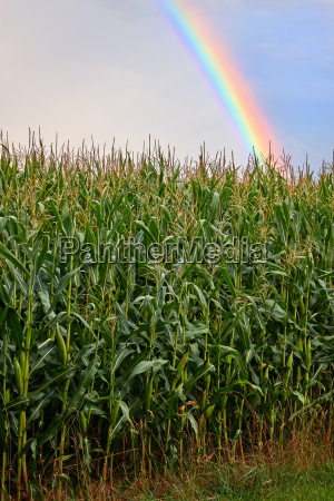 cornfield mit tollem regenbogen