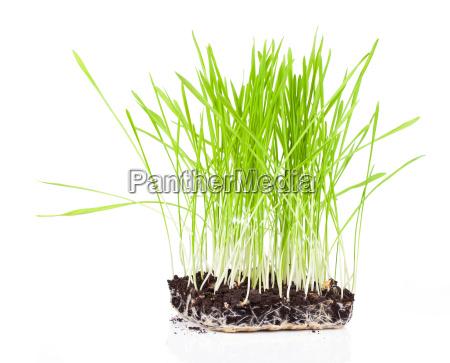 bush von gruenem gras auf weissem