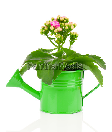 kalanchoe flower on white background