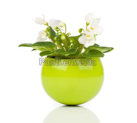 saintpaulia gesneriaceae flowers in flower head
