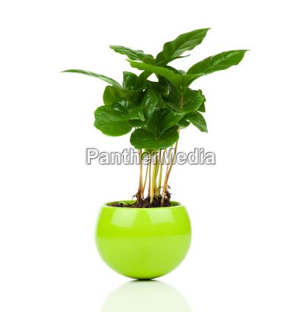 kaffeepflanze baum auf weissem hintergrundkaffee coffea