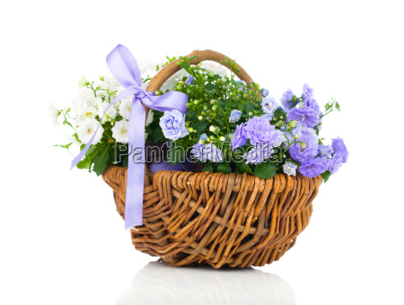 blue and white bellflowers campanula flowers