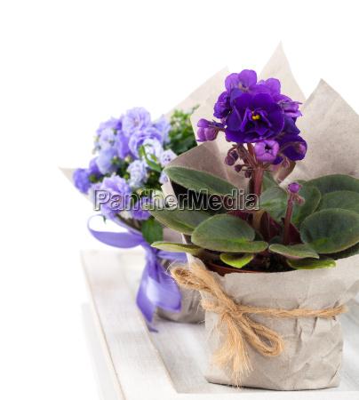 blue saintpaulia gesneriaceae and bells flowers
