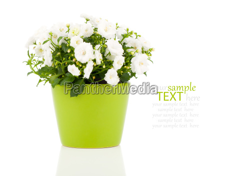 white bellflowers campanula flowers on a