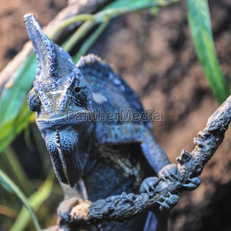 farbe tier reptil wild tarnung chamaeleon