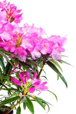 rhododendrons ericaceae flowers on white background