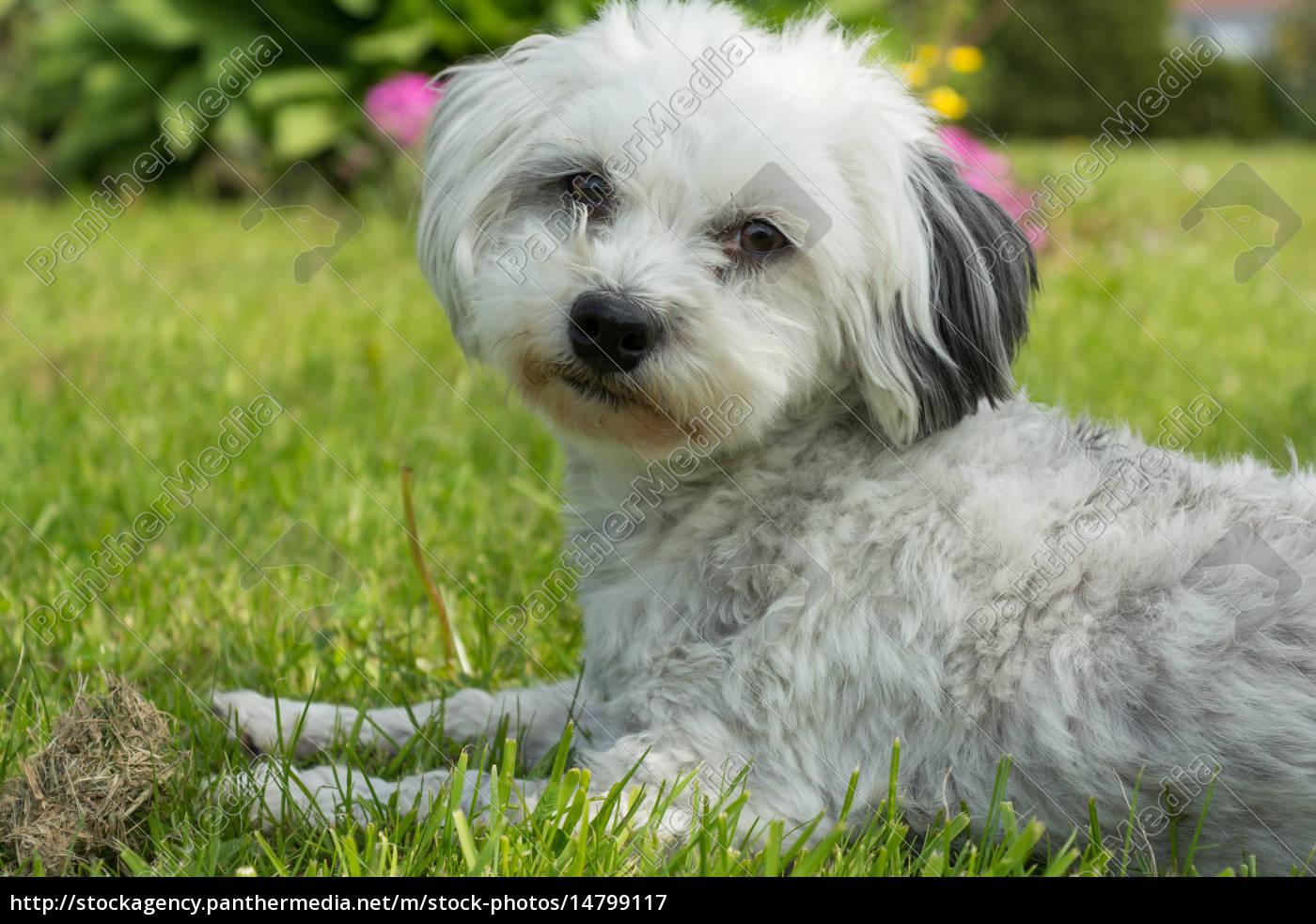 Stockfoto 14799117 Havaneser Kleiner Hund Liegt In Der Wiese