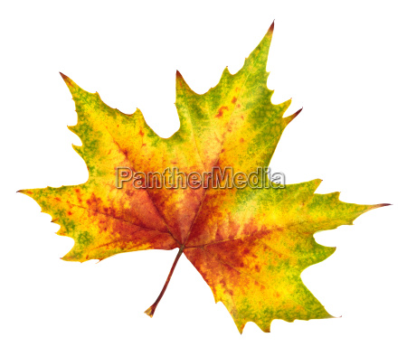 beautiful autumn leaf rich in color