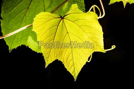 ein weinblatt im sonnenlicht