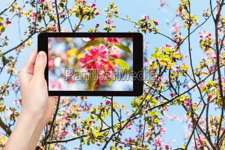 photo of pink blossoms of apple
