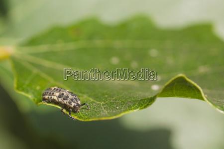 marienkaefer larven