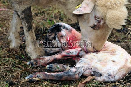 neugeborenes lamm mit mutterschaf kurz nach