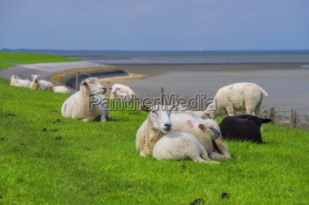 ostfriesland schafe eastern friesland sheeps