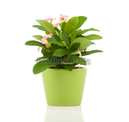 euphorbia milii crown of thorns isolated