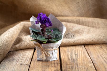 blue saintpaulia gesneriaceae flowers on sackcloth