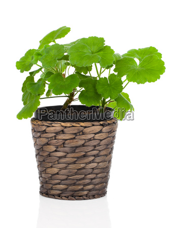 geranium flower in a flower pot