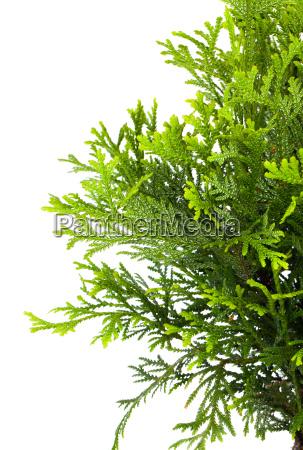 sicheltanne cryptomeria japonica oder japanische zeder