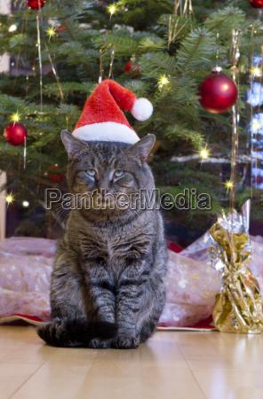 grey cat with santa hat