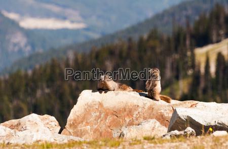 saeugetier kanada wildlife kanadisch kanadier pfeifer