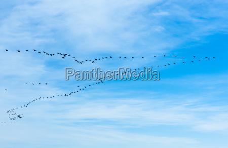 grosse herde von kormoranen die in