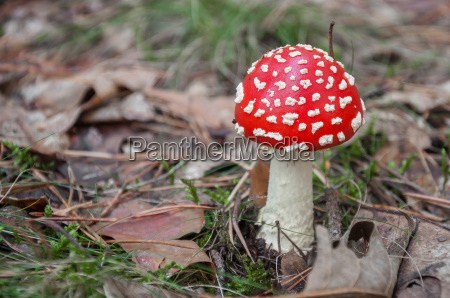 red toadstool in a forest