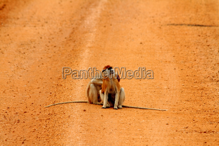 patas monkeys on a dirt road