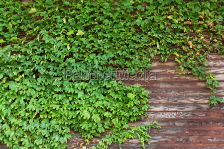 old wooden wall with green creeper