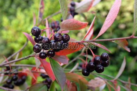 aronia pflanze mit dunkelroten beeren