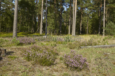 flowering heath grows at the edge