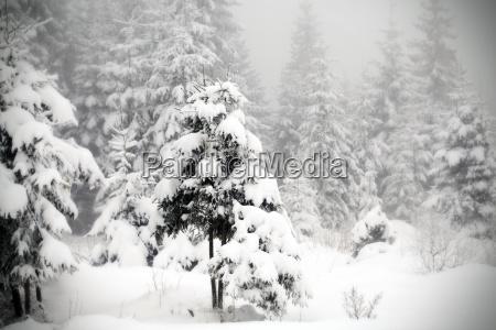weihnachtlicher hintergrund mit verschneiten tannenbaeumen