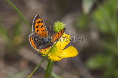 little butterfly lycaena phlaes