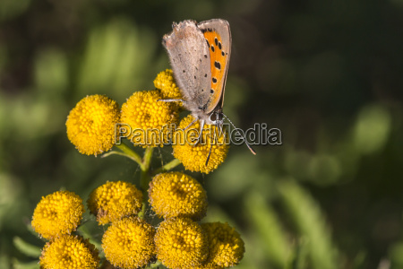 small copper lycaena phlaes