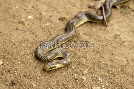 natrix maura schlange