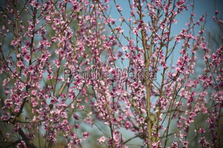 pfirsich baum bluete pfirsichbaum pfirsichbaumbluete fruehling