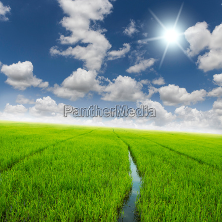 agriculture rice green field and blue
