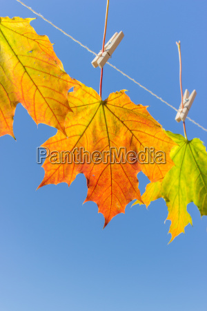 autumn leaves hanging on a leash