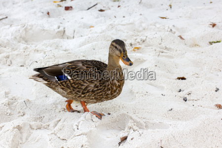 a brown wild duck on the