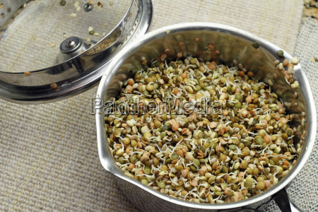 colorful lentils sprouting in a pan