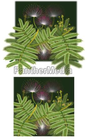 mimosa silk tree blossoms extra