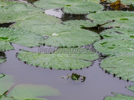 white lotus seerose