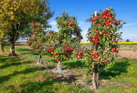 three small apple trees with numerous