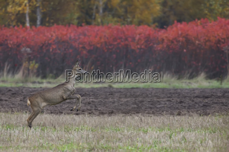 roe deer on the run in