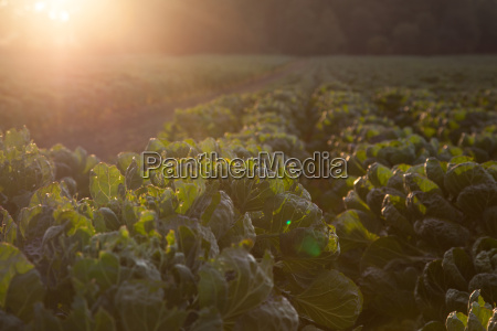 field with young brussels sprout plants
