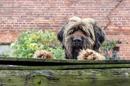 briard male looking over a wooden