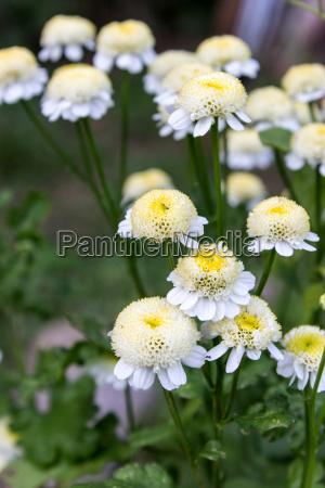 white flowers of feverfew