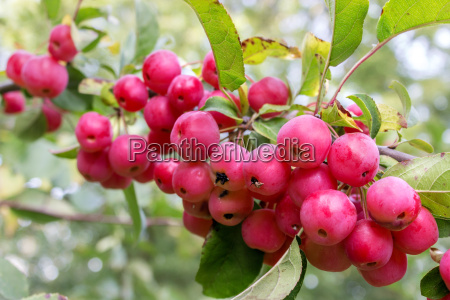 branch with crab apples and leaves