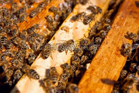 besetzte bienen nahaufnahme der arbeitsgruppe bienen